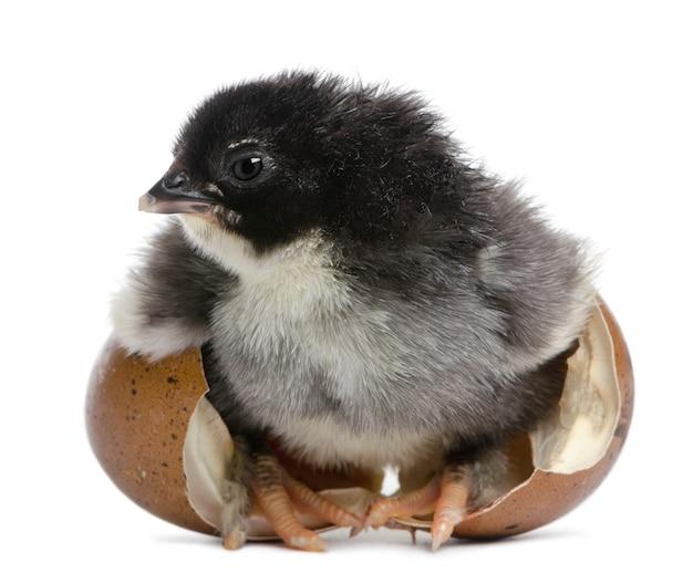 Filhote de marans, 15 horas de idade, em pé no ovo do qual eclodiu contra uma superfície branca