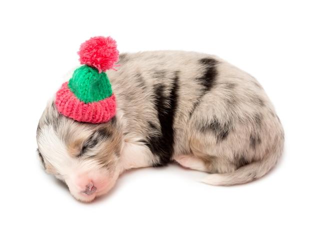 Filhote de pastor australiano, mentindo e usando um chapéu de inverno contra fundo branco