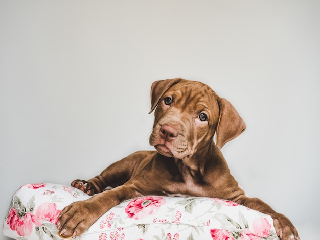 Filhote de pitbull encantador, deitado em um travesseiro