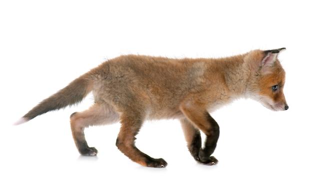 Filhote de raposa em estúdio