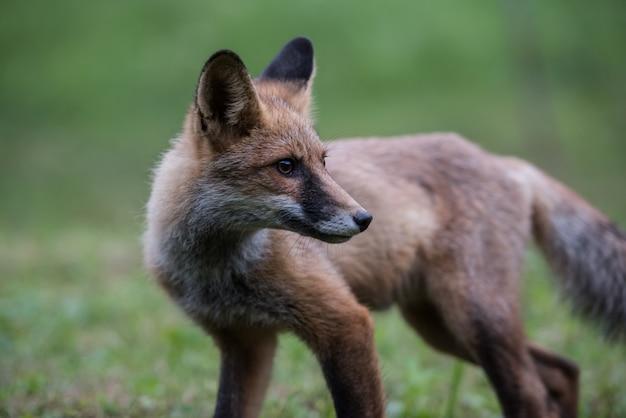 Filhote de raposa enquanto caça.
