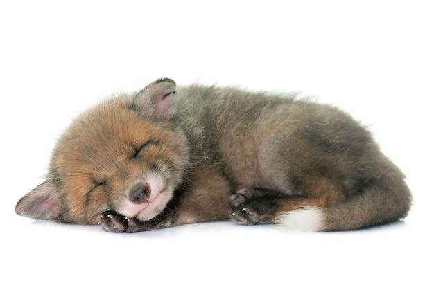 Filhote de raposa vermelha a dormir