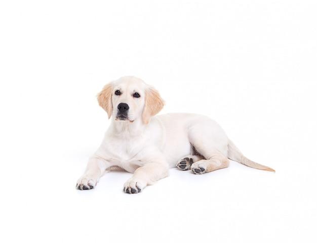 Filhote de retriever em branco grande família cão e amigo