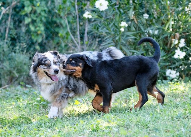 Filhote de rottweiler brincando com pastor australiano na natureza no verão