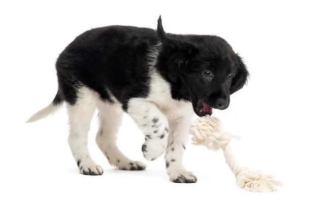 Filhote de stabyhoun brincando com um brinquedo de corda isolado no branco