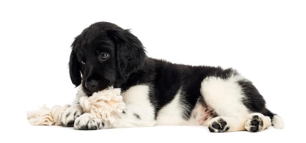 Filhote de stabyhoun deitado, mastigando um brinquedo de corda isolado no branco