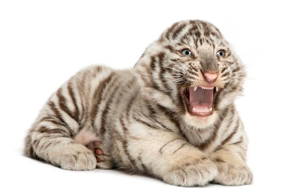 Filhote de tigre branco rugindo e deitado isolado no branco