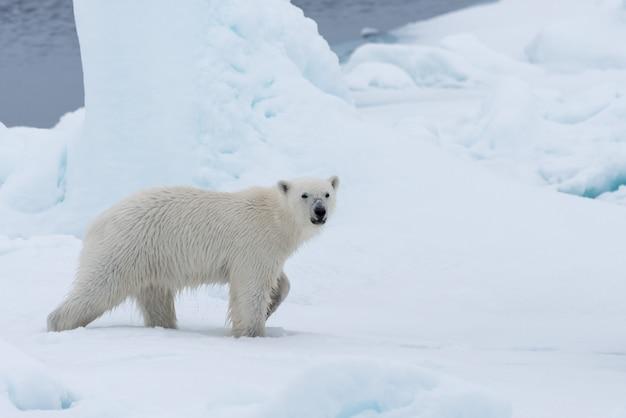 Filhote de urso polar selvagem no gelo