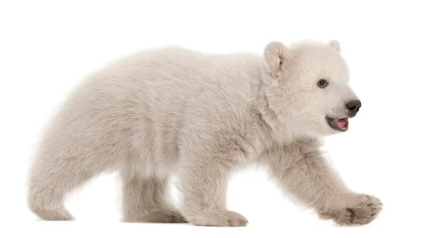 Filhote de urso polar, ursus maritimus, 3 meses de idade, caminhando contra o espaço em branco