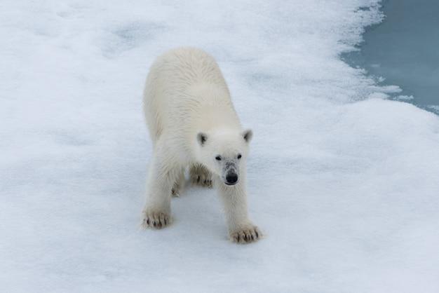 Filhote de urso polar (ursus maritimus) no gelo