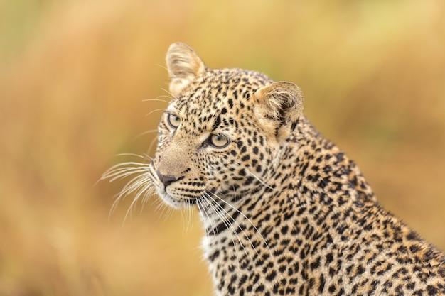 Filhote leopardo