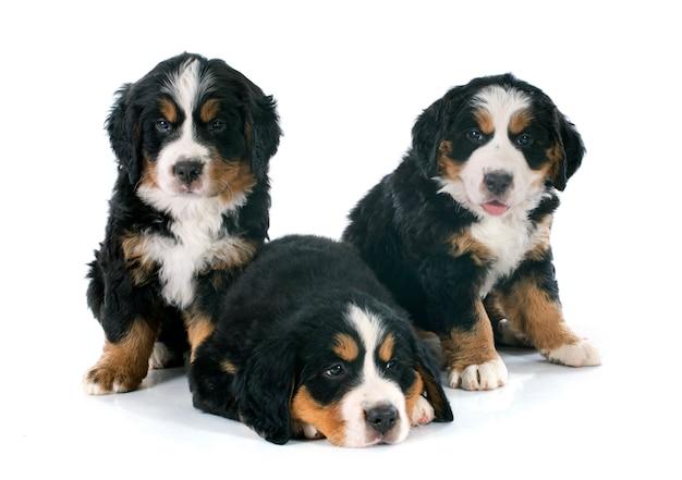 Filhotes bernese moutain cão