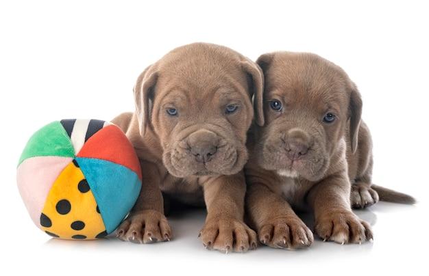 Filhotes cane corso
