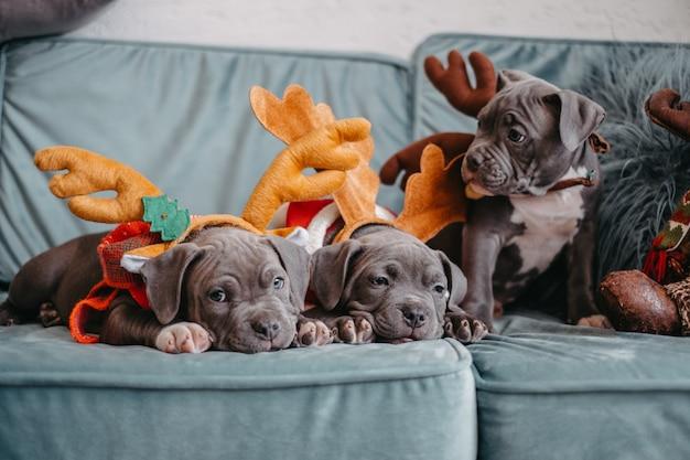 Filhotes de american bully deitam no sofá antes do natal. filhotes de valentões com chapéus elegantes.