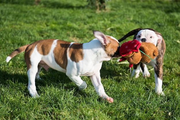 Filhotes de bulldog americano brincando com brinquedos
