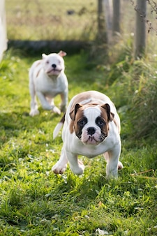 Filhotes de bulldog americano correndo e brincando