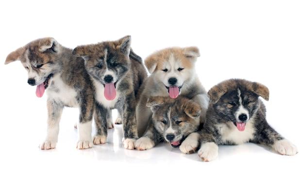 Filhotes de cachorro akita inu