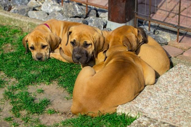 Filhotes de cachorro boerboel da áfrica do sul - o jogo no jardim.