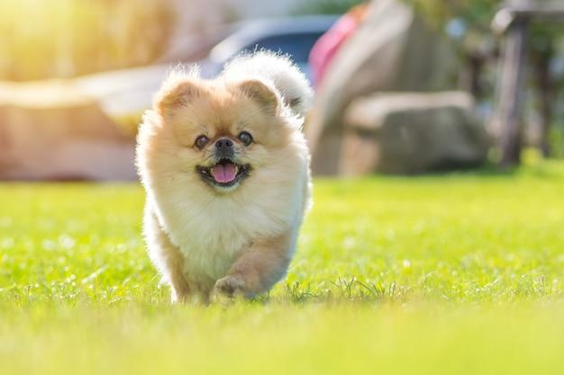 Filhotes de cachorro bonitos pomeranian raça misturada pequinês cachorro correr na grama com felicidade
