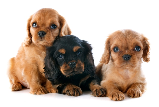 Filhotes de cachorro cavalier king charles