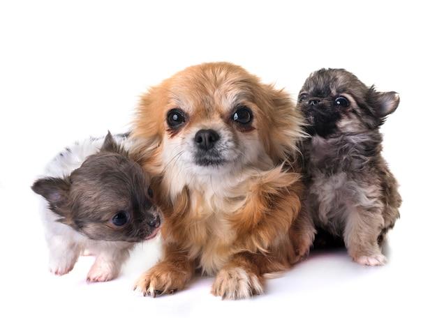 Filhotes de cachorro chihuahua e mãe