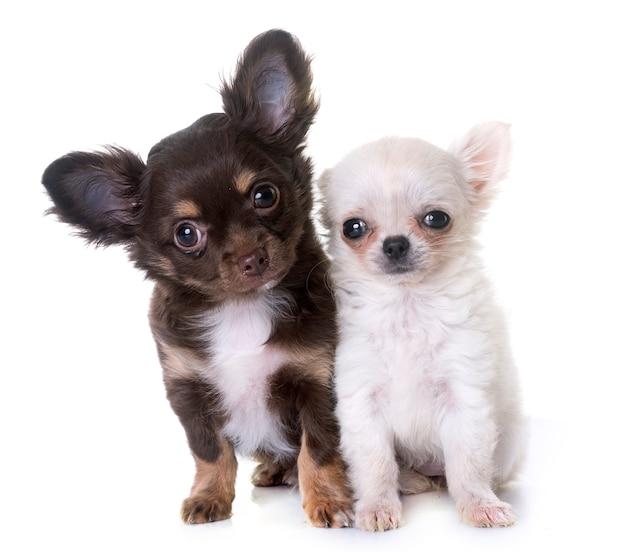 Filhotes de cachorro chihuahua em estúdio