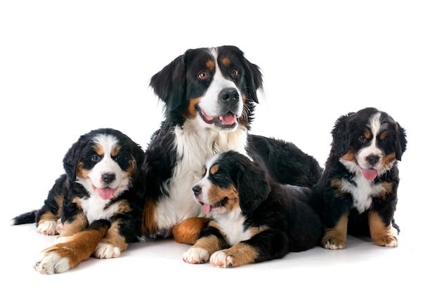 Filhotes de cachorro e cão bernese adulto moutain
