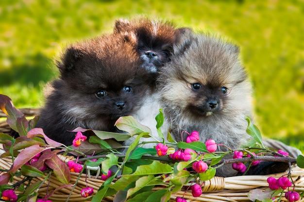 Filhotes de cachorro fofos da pomerânia sentados do lado de fora