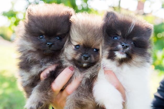 Filhotes de cachorro fofos da pomerânia sentados nas mãos do dono