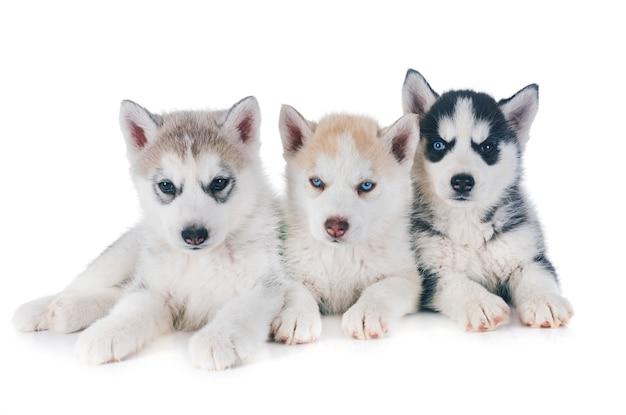 Filhotes de cachorro husky siberiano