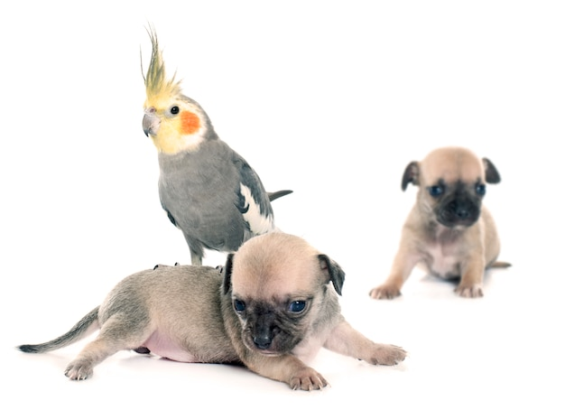 Filhotes de cachorro jovens chihuahua e periquito