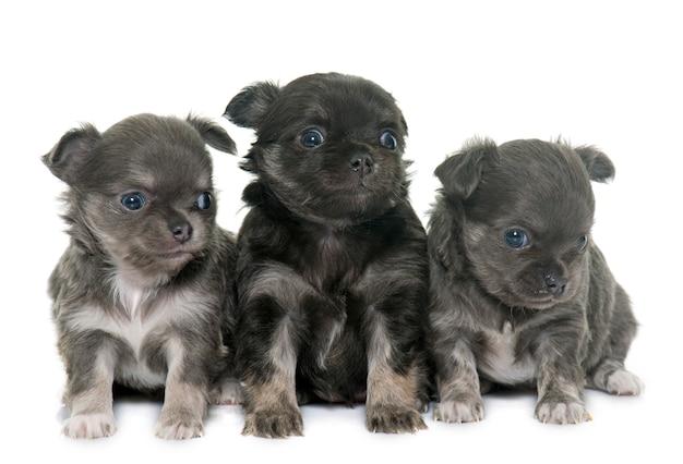Filhotes de cachorro longhair chihuahua