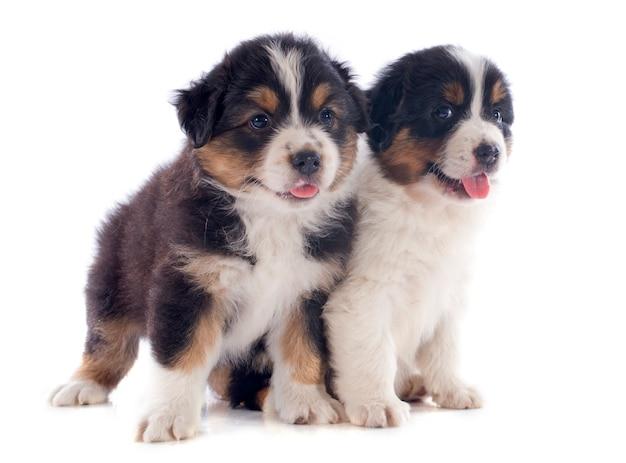 Filhotes de cachorro pastor australiano