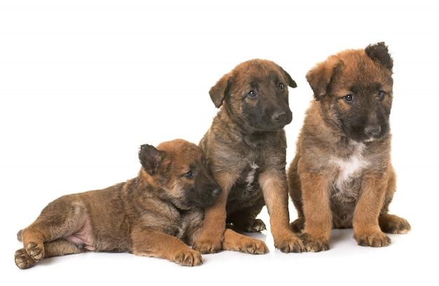 Filhotes de cachorro pastor belga cão laekenois