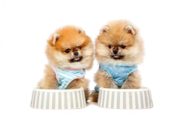 Filhotes de cachorro pomeranian bonitos estão sentados na tigela com comida