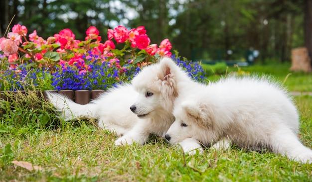 Filhotes de cachorro samoyed fofinhos brancos engraçados estão sentados perto do canteiro de flores no jardim na grama verde com flores