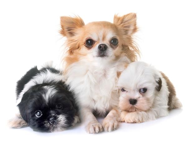 Filhotes de cachorro shih tzu e chihuahua