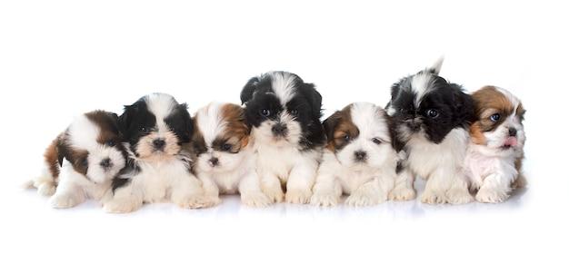 Filhotes de cachorro shih tzu