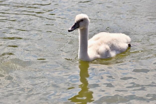 Filhotes de cisne linda na lagoa. fundo colorido natural bonito com animais selvagens.