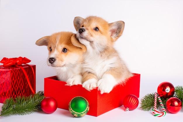 Filhotes de corgi sentados em uma caixa de presente em um fundo de natal