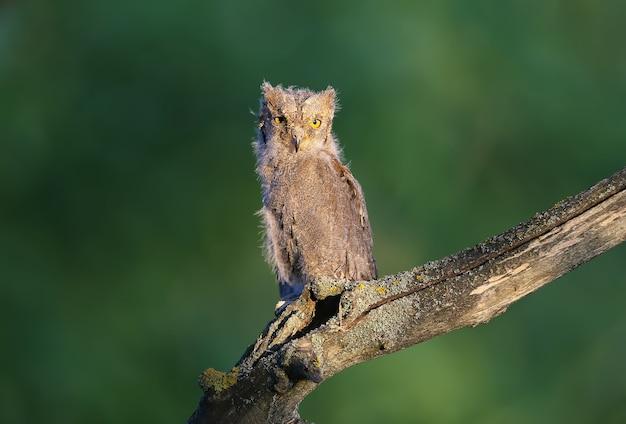 Filhotes de coruja-do-mato-euro-asiático são fotografados individualmente e juntos. os pássaros sentam-se em um galho seco de uma árvore contra um fundo desfocado sob os raios do sol suave da noite.