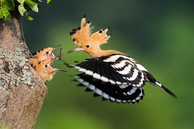 Filhotes de criação de hoopoe da eurásia na época de nidificação