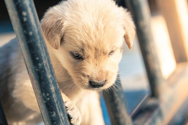 Filhotes de golden retriever olham em gaiolas