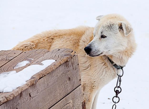 Filhotes de huskies em berçário para cães no inverno