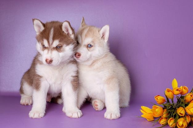 Filhotes de husky siberiano com flores