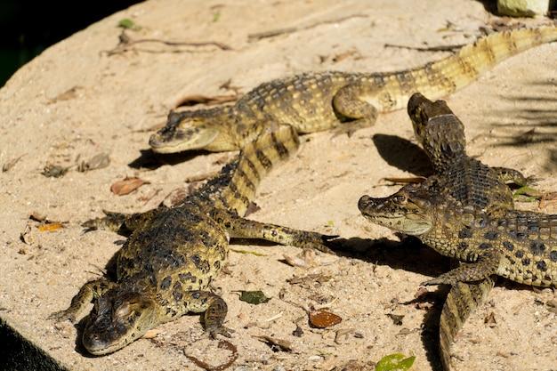 Filhotes de jacaré (jacaré do papo amarelo) no parque do rio de janeiro, brasil.