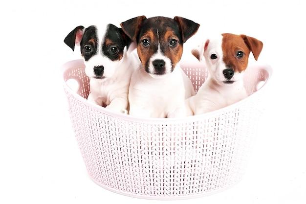 Filhotes de jack russell terrier em uma cesta rosa em um branco