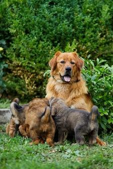Filhotes de newfoundland bonitos sugando o peito com o leite de suas mães, deitado na grama verde, amamentação do cão, cadela com filhotes.