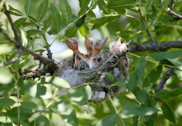Filhotes de papoula no ninho. filmado em close-up de perto. orioles dourados do futuro legais e fofos