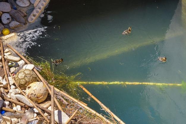 Filhotes de patinhos vivendo entre o lixo em um canal de irrigação